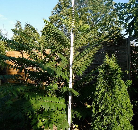 Ailanthus altissima,Götterbaum,Aussaat 2015.jpg
