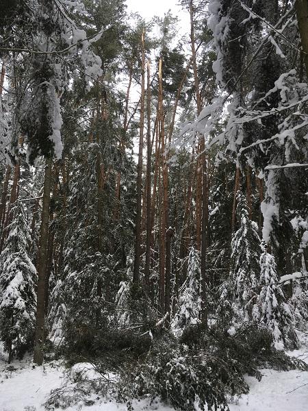 Schneebruch.jpg